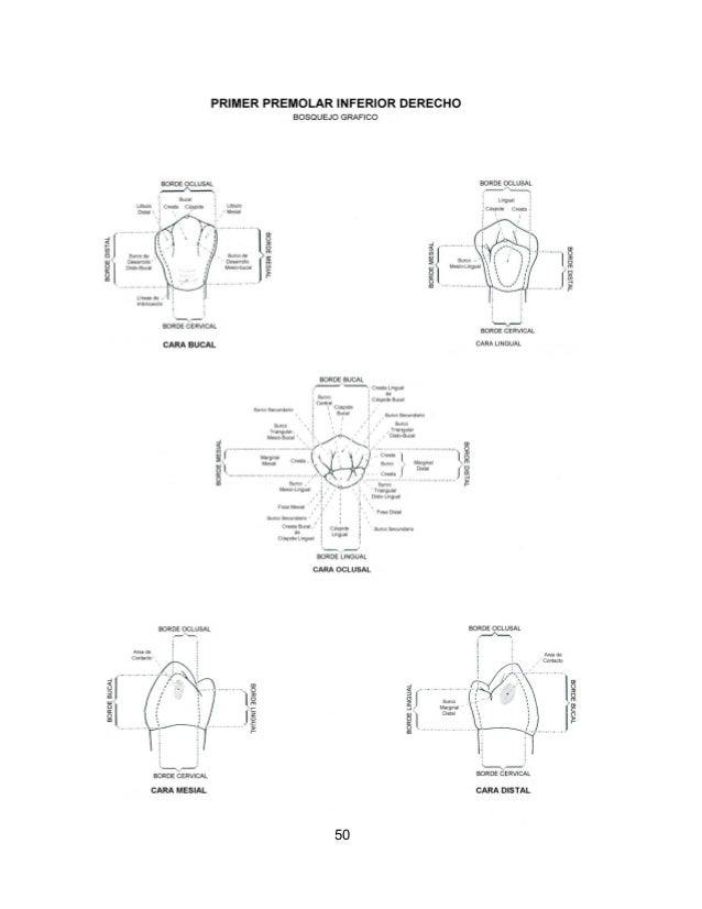 Perfecto Anatomía Dental Comparada Componente - Anatomía de Las ...