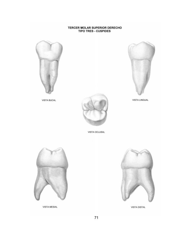 Asombroso Anatomía Dental Equina Cresta - Anatomía de Las ...