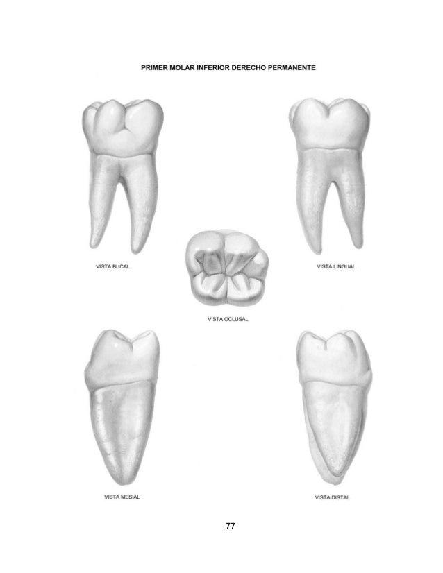 Excelente Notas De La Anatomía Dental Componente - Anatomía de Las ...