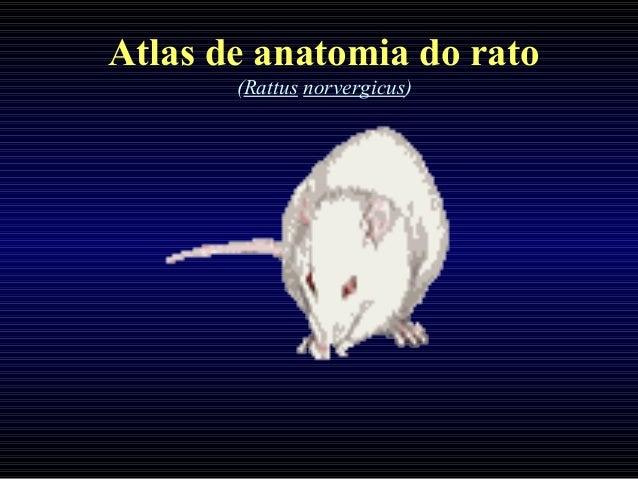 Atlas de anatomia do rato (Rattus norvergicus)