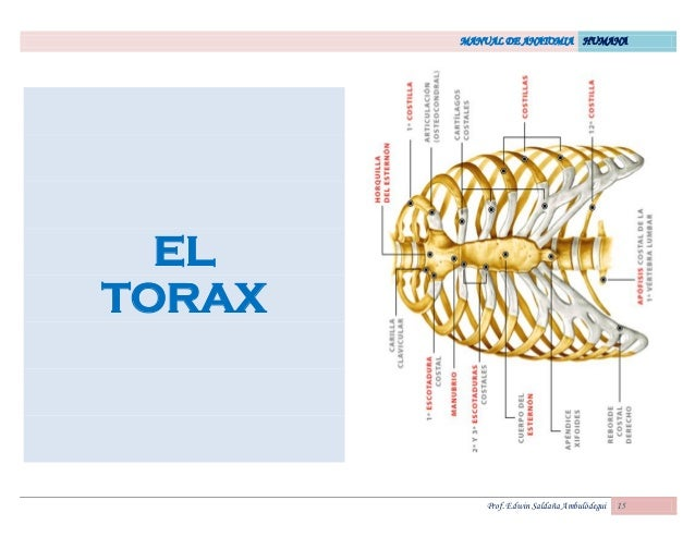 MANUAL DE ANATOMIA HUMANA Prof. Edwin Saldaña Ambulódegui 15 EL TORAX