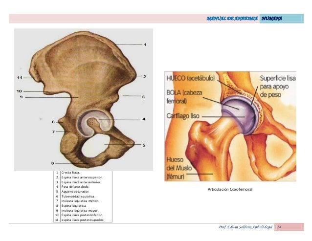 Vistoso Anatomía Espina Ilíaca Elaboración - Anatomía de Las ...