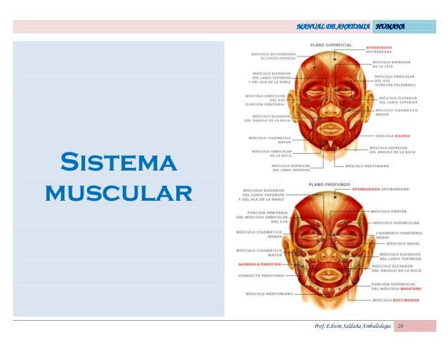 MANUAL DE ANATOMIA HUMANA Prof. Edwin Saldaña Ambulódegui 26 Sistema muscular