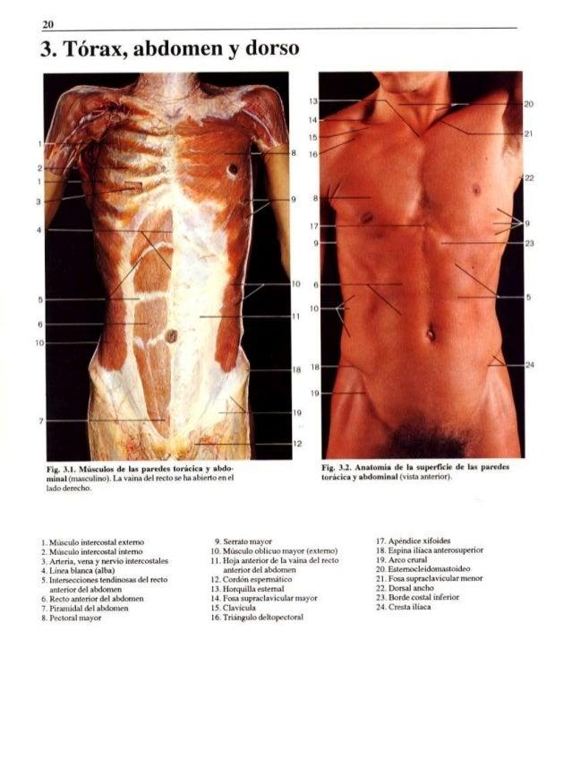 Bonito Anatomía De Superficie Tórax Cresta - Imágenes de Anatomía ...