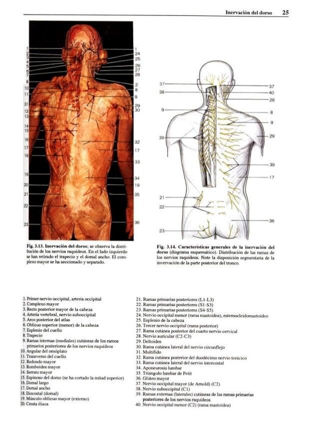 Increíble Menor órganos Anatomía Back Composición - Anatomía de Las ...