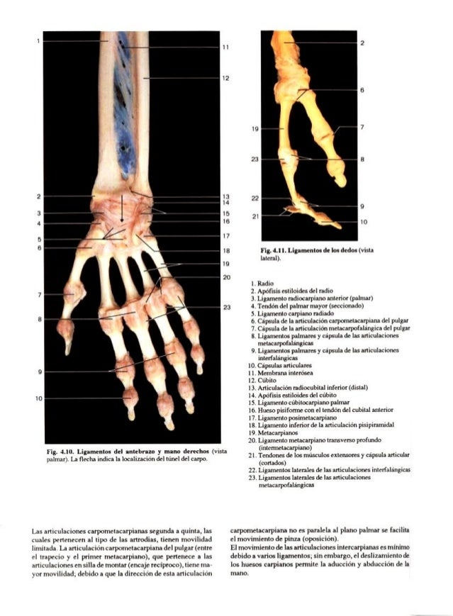 Contemporáneo Articulaciones De La Anatomía Pulgar Imágenes ...