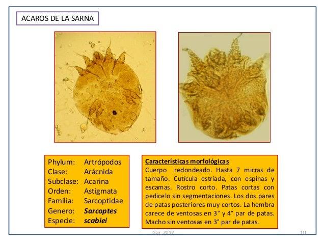 ACAROS DE LA SARNA      Phylum:     Artrópodos    Características morfológicas      Clase:      Arácnida      Cuerpo redon...