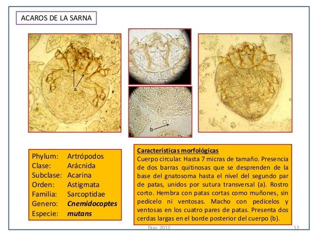 ACAROS DE LA SARNA               a                                  b                              Características morfoló...