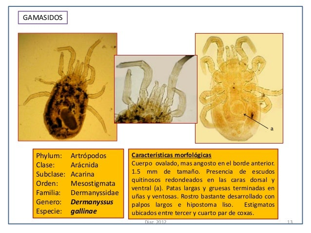 GAMASIDOS                                                                              a  Phylum:     Artrópodos      Cara...