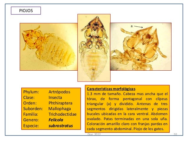 PIOJOS                                                       a                              Características morfológicas P...