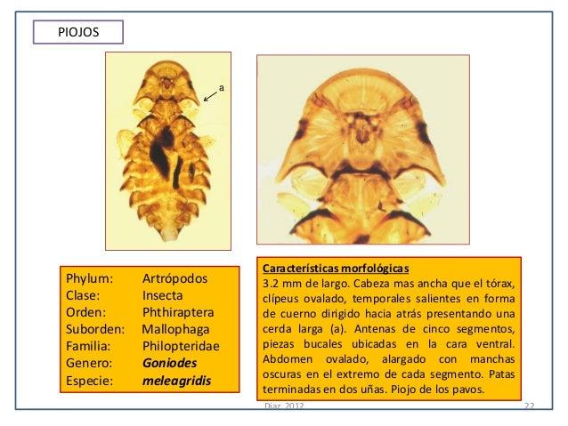 PIOJOS                         a                             Características morfológicas Phylum:     Artrópodos      3.2 ...
