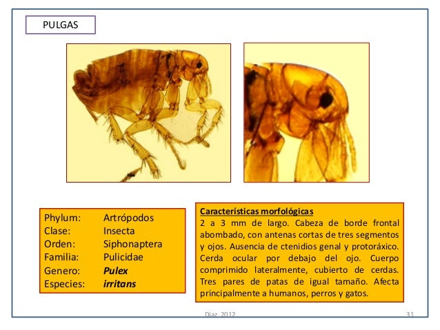 PULGAS                           Características morfológicasPhylum:     Artrópodos     2 a 3 mm de largo. Cabeza de borde...