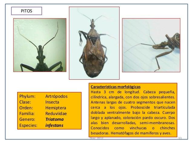 PITOS                         Características morfológicas                         Hasta 3 cm de longitud. Cabeza pequeña,...