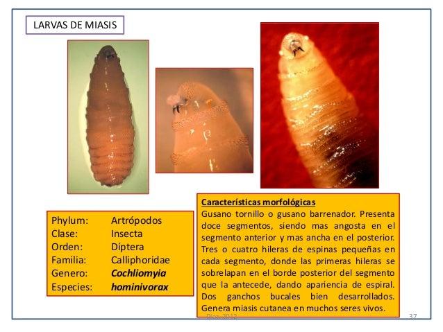 LARVAS DE MIASIS                               Características morfológicas                               Gusano tornillo ...
