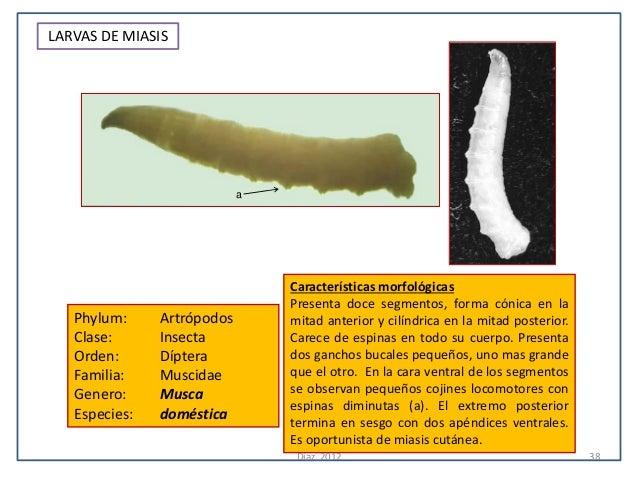 LARVAS DE MIASIS                            a                                Características morfológicas                 ...