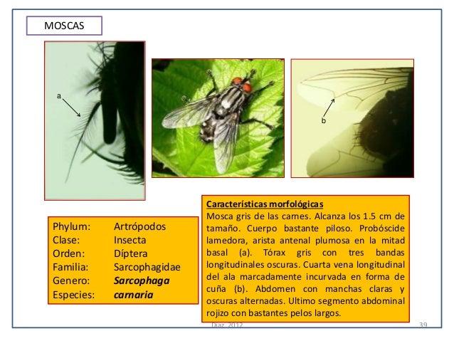 MOSCAS a                                                        b                             Características morfológicas...