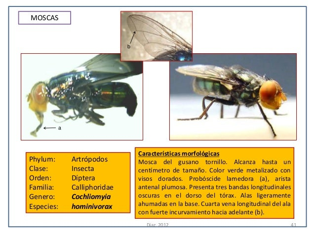 MOSCAS                            b        a                                Características morfológicasPhylum:     Artróp...