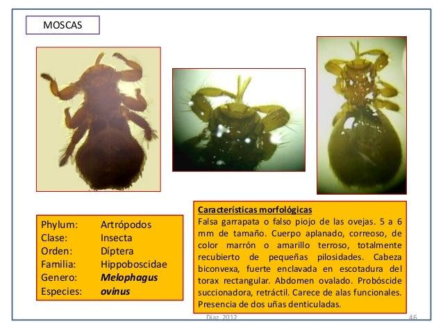MOSCAS                            Características morfológicasPhylum:     Artrópodos      Falsa garrapata o falso piojo de...