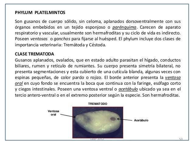 PHYLUM PLATELMINTOSSon gusanos de cuerpo sólido, sin celoma, aplanados dorsoventralmente con susórganos embebidos en un te...