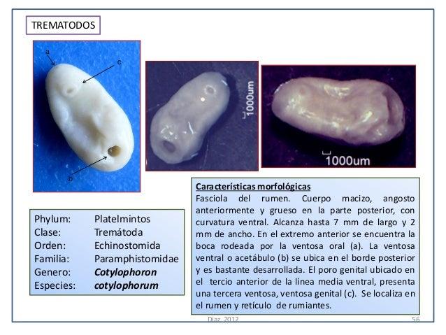 TREMATODOS  a                c       b                               Características morfológicas                         ...