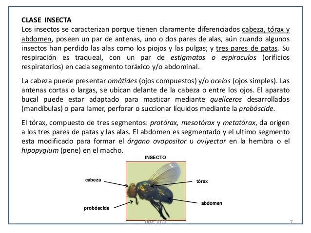 CLASE INSECTALos insectos se caracterizan porque tienen claramente diferenciados cabeza, tórax yabdomen, poseen un par de ...