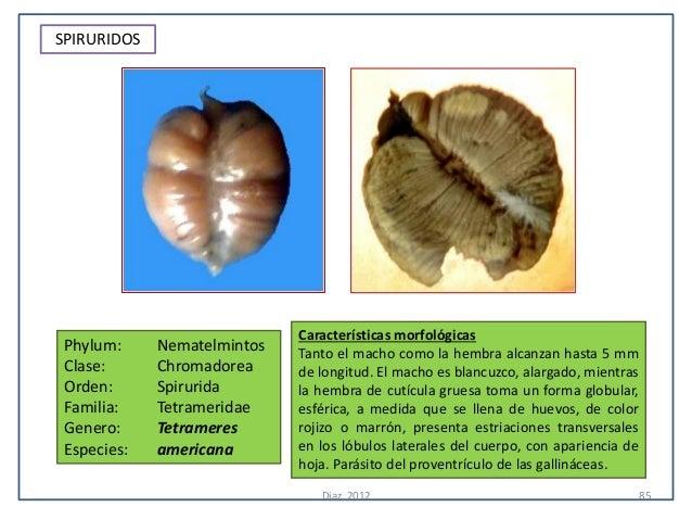 SPIRURIDOS                             Características morfológicas Phylum:     Nematelmintos   Tanto el macho como la hem...
