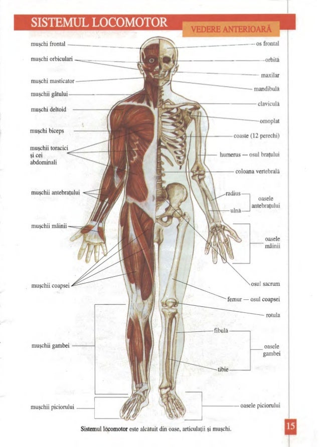 Charmant Anatomie Ellenbeuge Ideen - Anatomie Ideen - finotti.info