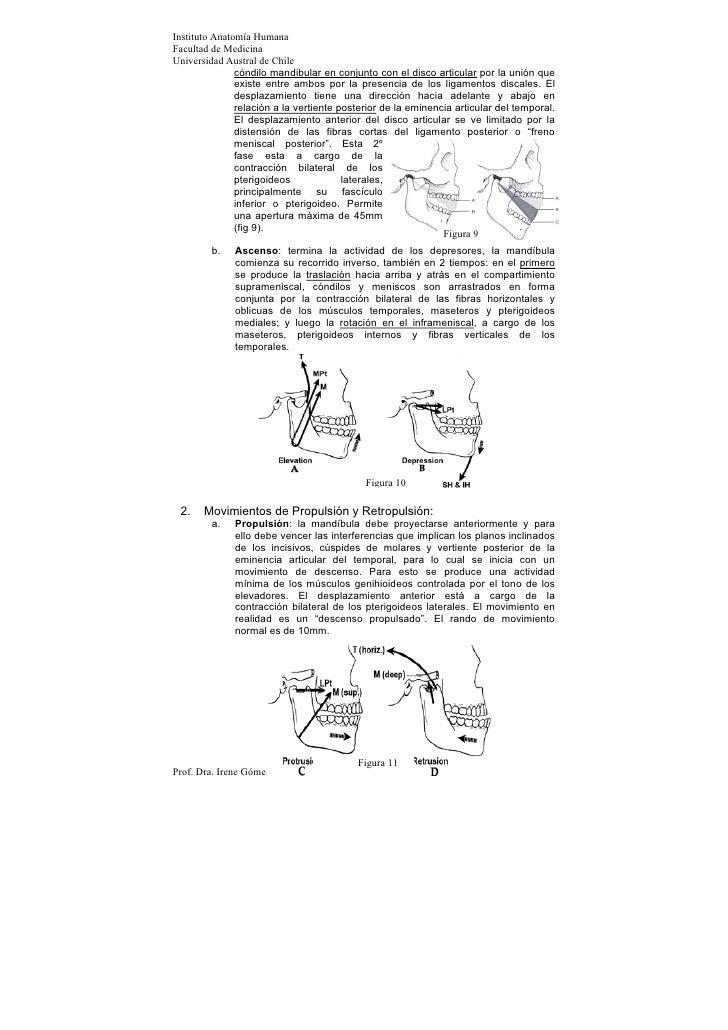Instituto Anatomía HumanaFacultad de MedicinaUniversidad Austral de Chile               cóndilo mandibular en conjunto con...