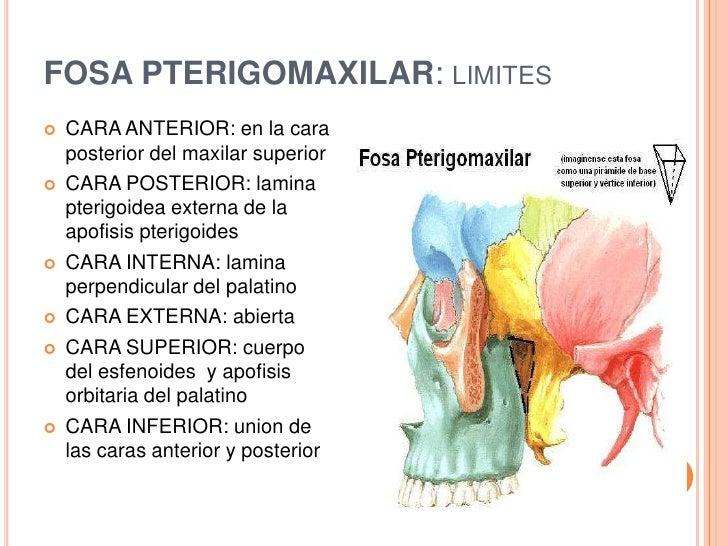 Encantador Anatomía Pterigopalatino Fosa Festooning - Anatomía de ...
