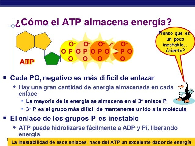 El ATP: transformaciones de energía