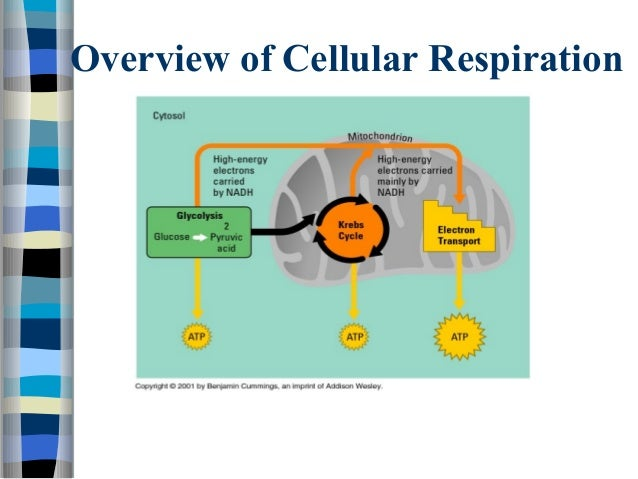 Atp photosynthesis and cellular respiration 20 overview of cellular ccuart Choice Image
