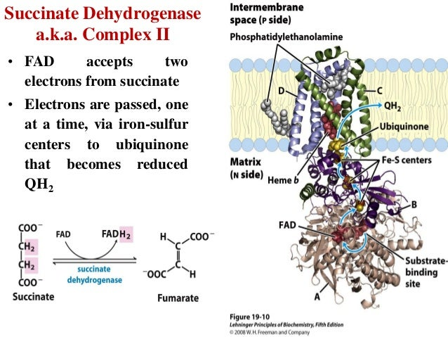 fe2 in heme becomes oxidized to fe3 essay 24synthesis of bilirubin 1 heme oxygenase-hemin reduced to ferrous iron (fe2+) by nadph-heme hydroxylated and oxidized back to ferric (fe3+) state.