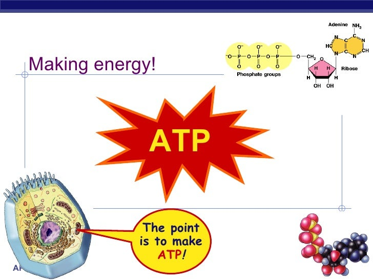 ATP Making energy! The point is to make ATP !