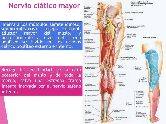 El nervio peroneo profundo inerva los músculos tibial anterior, extensor largo del dedo gordo, extensor largo de los dedos...