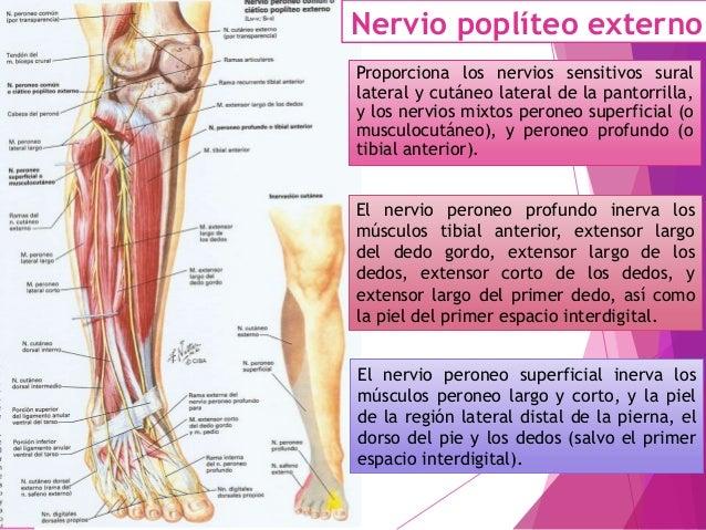 Nervio ciático poplíteo interno El nervio ciático poplíteo interno (L4-S2) es el nervio motor flexor plantar del pie, y se...