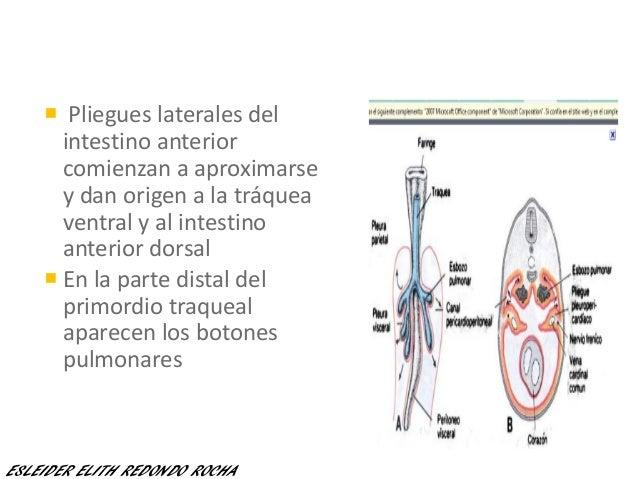  Pliegues laterales del intestino anterior comienzan a aproximarse y dan origen a la tráquea ventral y al intestino anter...