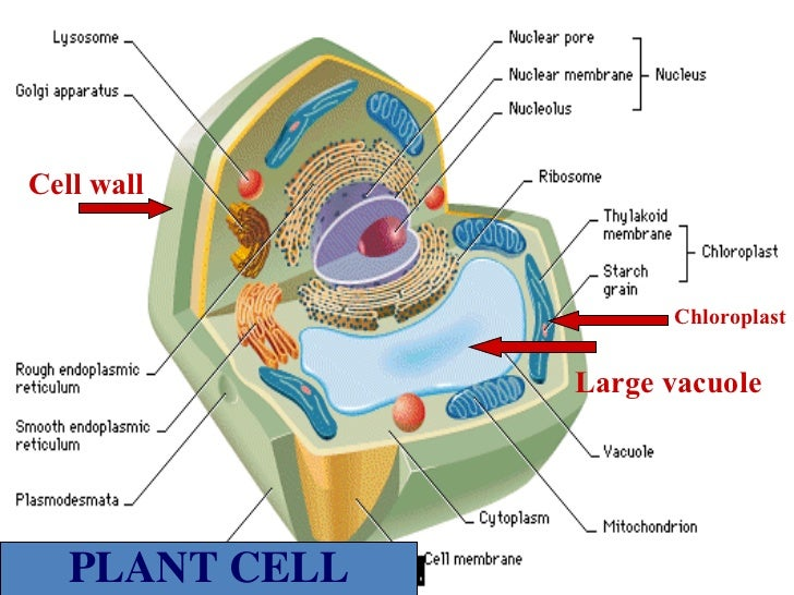 Plant cell diagram enlarged chloroplast wiring diagram aug 24plant vs animal cells a chloroplast in cell plant cell diagram enlarged chloroplast ccuart Images
