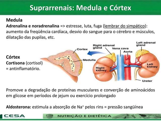 Medula Adrenalina e noradrenalina => estresse, luta, fuga (lembrar do simpático): aumento da freqüência cardíaca, desvio d...