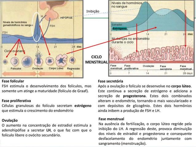 CICLO MENSTRUAL Fase folicular FSH estimula o desenvolvimento dos folículos, mas somente um atinge a maturidade (folículo ...