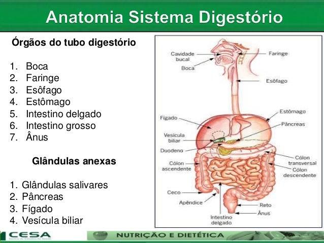 Aula anatomia sistema digestorio