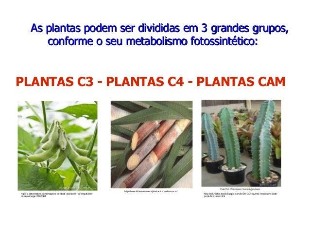 AsAs plantasplantas podempodem serser divididasdivididas emem 33 grandesgrandes grupos,grupos, conformeconforme oo seuseu ...