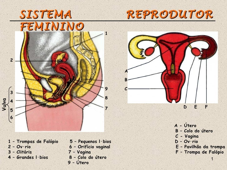 SISTEMA                                     REPRODUTOR                 FEMININO                                           ...