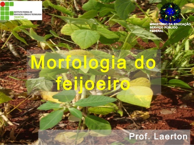 MINISTÉRIO DA EDUCAÇÃO  SERVIÇO PÚBLICO  FEDERAL  Morfologia do  feijoeiro  Prof. Laerton