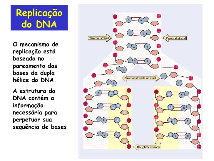 Replicação do DNA O mecanismo de replicação está baseado no pareamento das bases da dupla hélice do DNA. A estrutura do DN...