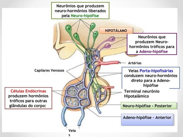 Produz e secreta seus próprios hormônios Lobo ANTERIOR da HIPÓFISE TireóideCortex Adrenal Gônadas Glândula Mamária Ambos a...