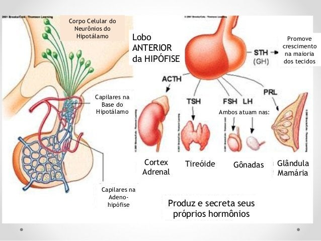 Axônios Para a circulação geral Corpos Celulares no Hipotálamo Túbulos Renais Glândulas Mamárias Músculos do Endométrio ut...