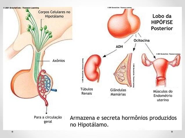Hormônios do HipotálamoHormônios do Hipotálamo armazenados na NEURO-hipófisearmazenados na NEURO-hipófise • ADH ou Vasopre...
