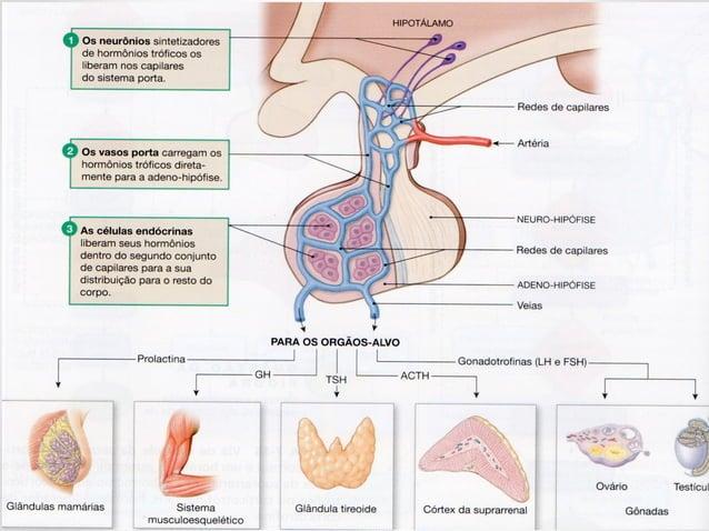 Fisiologia - Sistema Endócrino 1