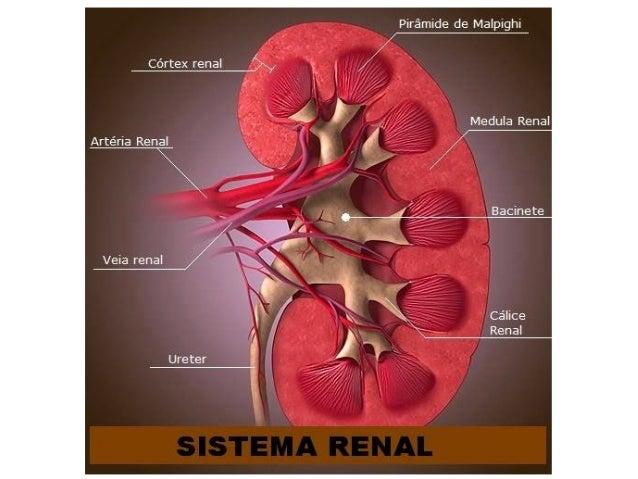 Anatomia Sistema Urinário