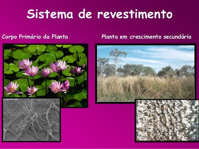 Sistema de revestimento Corpo Primário da Planta  Planta em crescimento secundário
